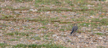 Juvenile White Wagtail in stone field Stock Photo