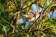 Juvenile whitethroat. Peeking from the branches in Estonia Royalty Free Stock Photography