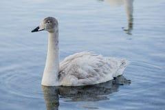 Free Juvenile Whooper Swan Royalty Free Stock Image - 91895546