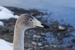 Free Juvenile Whooper Swan Head Stock Photos - 91895483