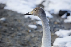 Juvenile Whooper Swan Head and Neck. Seen near snow covered pebbles in the background, the head and neck of this juvenile whooper swan has brown feathers royalty free stock photo