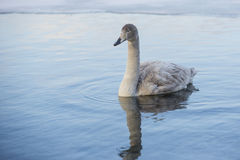 Juvenile Whooper Swan. Moving slowly in some shallow blue water reflecting the sky and clouds, with ice in the background, as evidenced by the concentric ripples Stock Photos