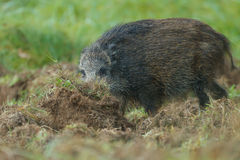 Juvenile wild boar foraging Royalty Free Stock Photo