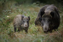 Juvenile wild boar. Young wild boar with mother Royalty Free Stock Photo