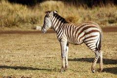 Juvenile wild zebra Royalty Free Stock Image