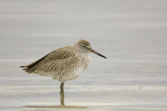 A juvenile Willet in the surf. A juvenile Willet rests in the surf after a good meal Stock Photos