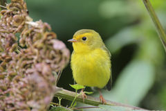 Juvenile Wilsons Warbler Royalty Free Stock Photography