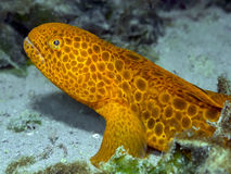 Juvenile Wolf Eel (Anarrhichthys ocellatus). A vibrant juvenile Wolf Eel photographed in the cold Pacific waters of southern British Columbia Royalty Free Stock Photography