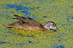 Juvenile Wood Duck Stock Photos
