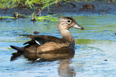 Juvenile Wood Duck Stock Photo
