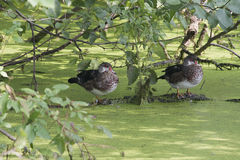 Juvenile wood ducks Stock Images
