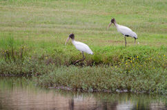 Juvenile Wood Storks. In pond Walton County Georgia Stock Photos