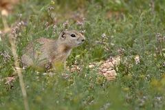 Juvenile Wyoming Ground Squirrel. A juvenile Wyoming Ground Squirrel outside of its burrow in northern Colorado Stock Photo