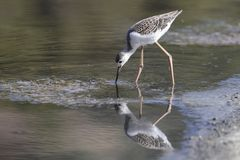Recently fledged juvenile Black-winged stilt Himantopus himantopus. Juvenile of the year Black-winged stilt Himantopus himantopus foraging in shallow water royalty free stock images
