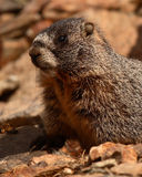 Juvenile Yellow-bellied Marmot. A portrait of a juvenile Yellow-bellied Marmot in Colorado Stock Images