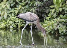 Juvenile Yellow Billed Stork Royalty Free Stock Photography