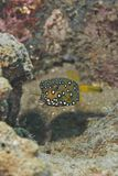 Juvenile Yellow boxfish (Ostracion cubicus). Royalty Free Stock Photography