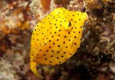 Juvenile yellow boxfish. Young yellow boxfish fills the shot Stock Images