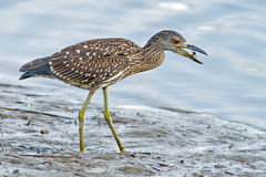 Juvenile Yellow-crowned Night Heron Stock Photos