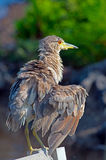 Juvenile Yellow-crowned Night Heron Stock Photo