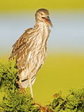 Juvenile Yellow-crowned Night Heron in Tree Stock Photos