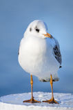 Juvenile yellow-legged gull, front view Royalty Free Stock Images