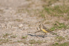Juvenile Wagtail Stock Photography
