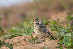 Juvenile Yellow Wagtail stood on a bank Royalty Free Stock Photography