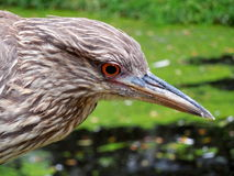 Juvenile young black-crowned night heron head royalty free stock photography