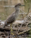 Juvenile. A young heron learning how to hunt for itself Royalty Free Stock Image