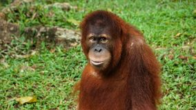 Juvenile and young orang utan in National Zoo of Malaysia stock photo