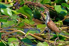 Juvenile young Wattled Jacana, Jacana Jacana, with water lillies in the wetlands of the Pantanal, Corumba, Brazil. Juvenile young, Wattled Jacana, Jacana Jacana stock images