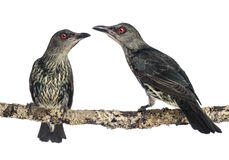 2 Juveniles металлическое metallica Starling - Aplonis Стоковые Фото
