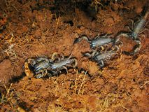 Juveniles of Emperor Scorpion, Pandinus imperator, Satara, Maharashtra. India Stock Photos