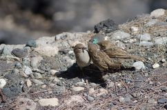 Juveniles of spanish sparrow Passer hispaniolensis asking food to his mother. Playa de Arinaga. Aguimes. Gran Canaria. Canary Islands. Spain Stock Images
