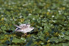 Juveniles sterna albifrons. Two juveniles little tern ( sterna albifrons ) standing in the swamp near Sahalin island , Danube Delta , Romania Stock Photo