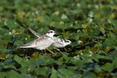 Juveniles whiskered tern. On water plants ( Chlidonias hybrida Stock Images