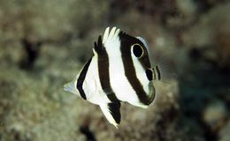 Juvenille Banded Butterflyfish. Chaetodon striatus, picture taken in south east Florida Stock Image