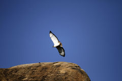 Juvenille Black-Shouldered Kite Royalty Free Stock Images