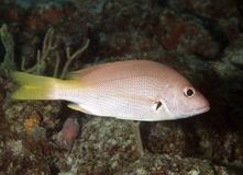 Juvenille Blackfin Snapper Stock Images