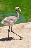 Juvenille Flamingo. A single young flamingo walking on the shore Royalty Free Stock Photos