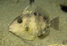 Juvenille GrauTriggerfish Stockbild