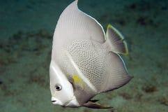 Juvenille Gray Angelfish. Pomacanthus arcuatus Stock Images