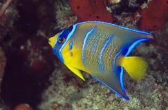 Juvenille Koningin Angelfish Stock Afbeeldingen