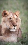 Juvenille Lion. A young male Lion portrait Royalty Free Stock Images