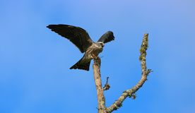 Juvenille Mississippi kite stock images
