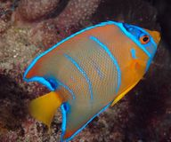 Juvenille Queen Angelfish. Holocanthus cilirias Royalty Free Stock Images