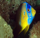 Juvenille Queen Angelfish Stock Photo