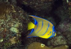 Juvenille Queen Angelfish. Holocanthus ciliaris Stock Images