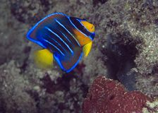 Juvenille Queen Angelfish. Holacanthus ciliaris Stock Photos